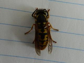 Queen wasp Rscn5510