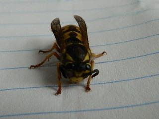 Queen wasp Rscn5511