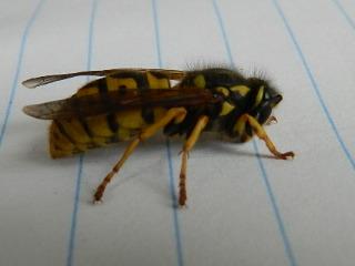 Queen wasp Rscn5512