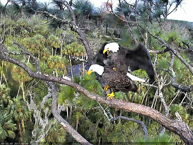 AEF Northeast Florida Nest of Bald Eagles Romeo & Juliet   - Pagina 4 2017-113
