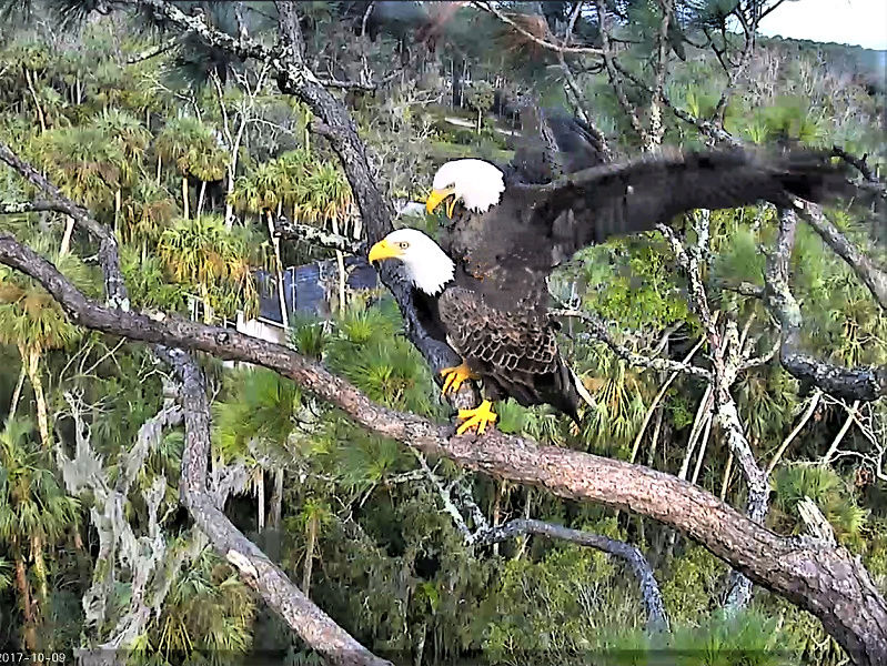 AEF Northeast Florida Nest of Bald Eagles Romeo & Juliet   - Pagina 4 2017-114