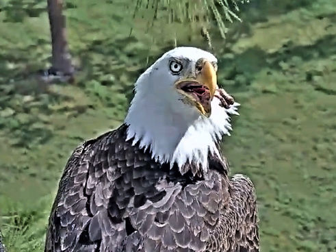 Southwest Florida Eagle Cam 2017-373