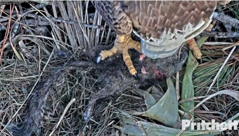 Southwest Florida Eagle Cam - Pagina 2 2017-397