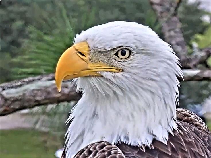 Southwest Florida Eagle Cam - Pagina 2 2017-430
