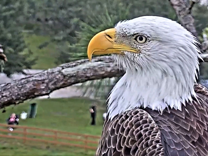 Southwest Florida Eagle Cam - Pagina 2 2017-431