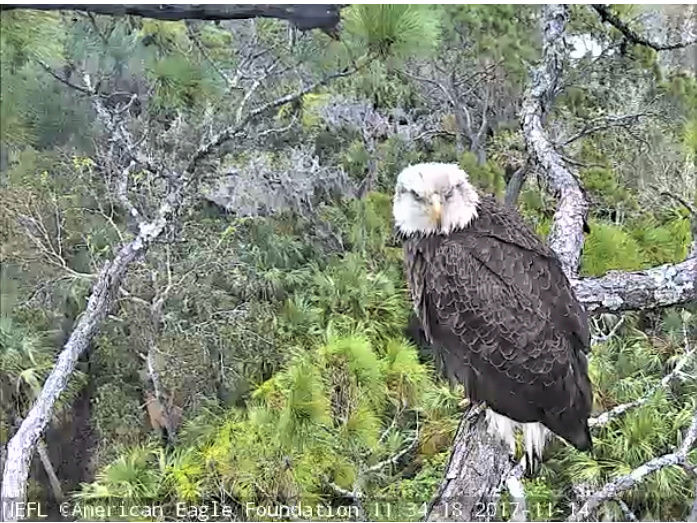 AEF Northeast Florida Nest of Bald Eagles Romeo & Juliet   - Pagina 5 2017-748