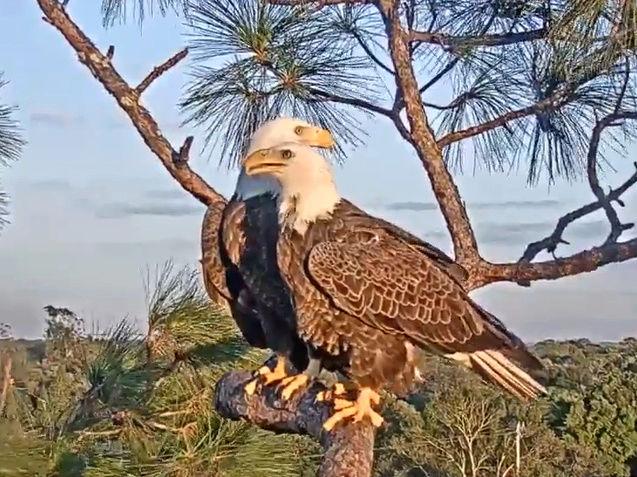 Southwest Florida Eagle Cam - Pagina 2 2017-845