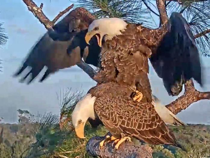 Southwest Florida Eagle Cam - Pagina 2 2017-846