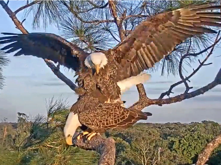 Southwest Florida Eagle Cam - Pagina 2 2017-847