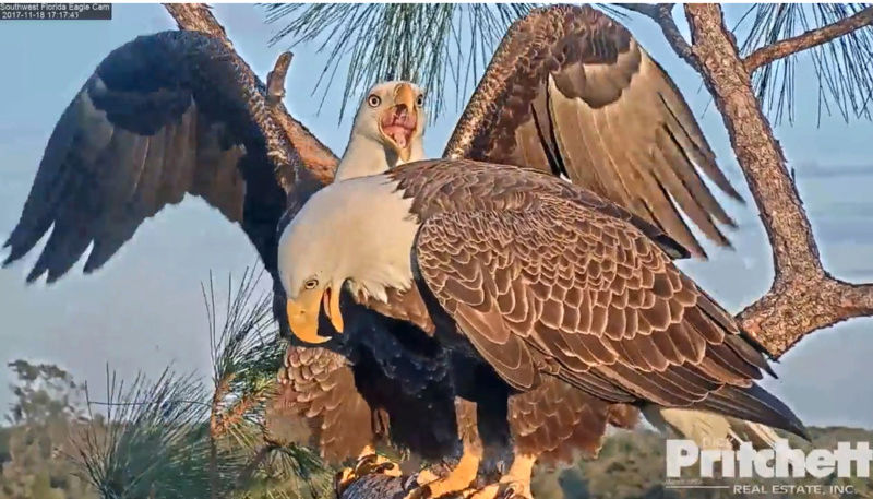 Southwest Florida Eagle Cam - Pagina 2 2017-849