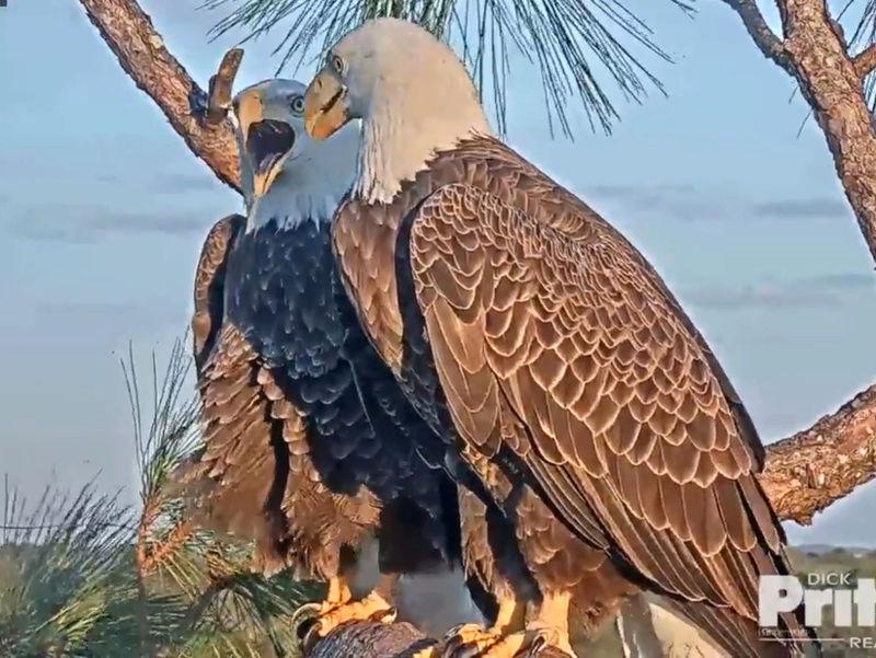Southwest Florida Eagle Cam - Pagina 2 2017-850