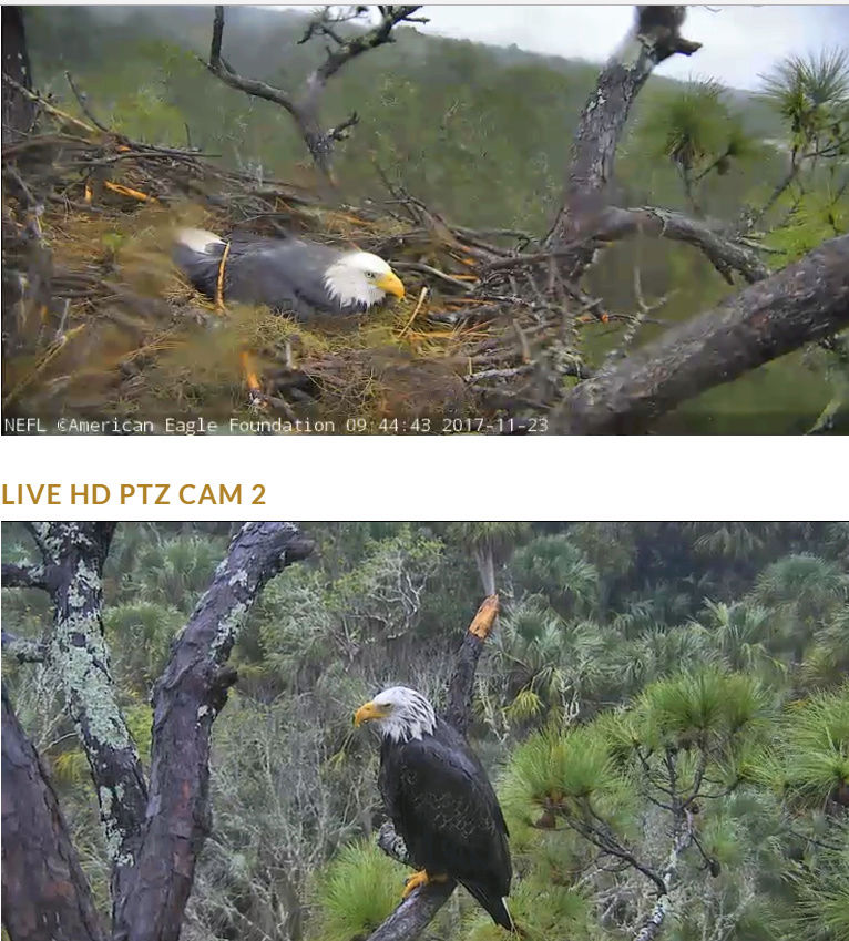 AEF Northeast Florida Nest of Bald Eagles Romeo & Juliet   - Pagina 5 2017-944