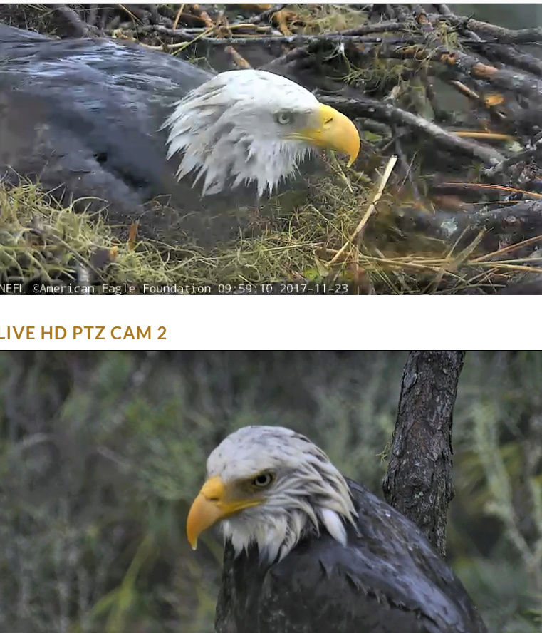 AEF Northeast Florida Nest of Bald Eagles Romeo & Juliet   - Pagina 5 2017-945