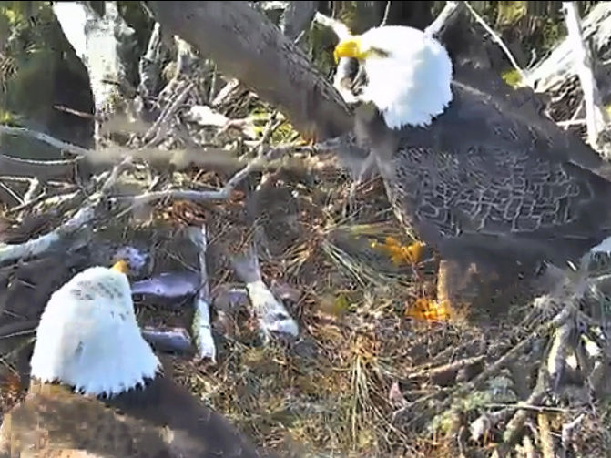 AEF Northeast Florida Nest of Bald Eagles Romeo & Juliet   - Pagina 7 20171196