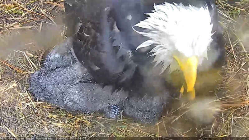 AEF Northeast Florida Nest of Bald Eagles Romeo & Juliet   - Pagina 9 2018-011