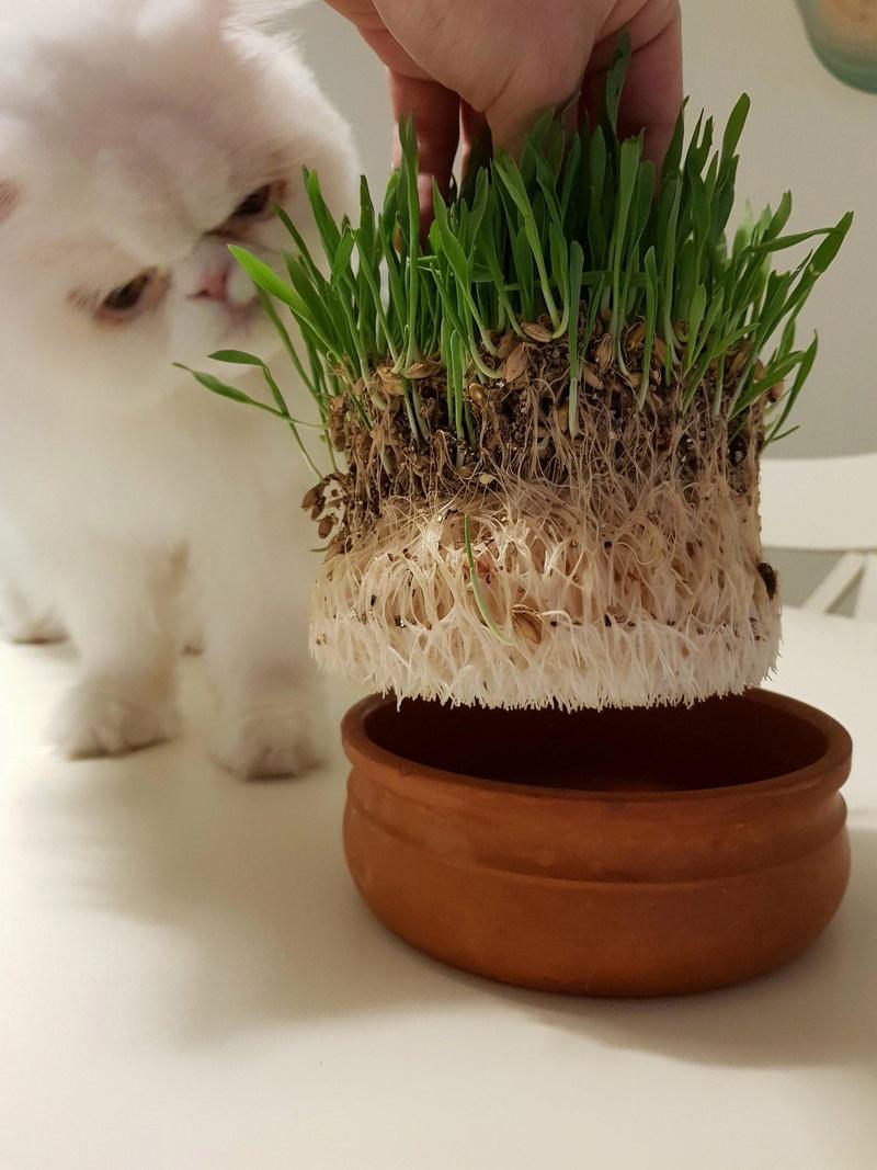 cat grass - Σελίδα 2 29542710