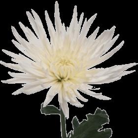 Энергия   осенних цветов Hrizan10