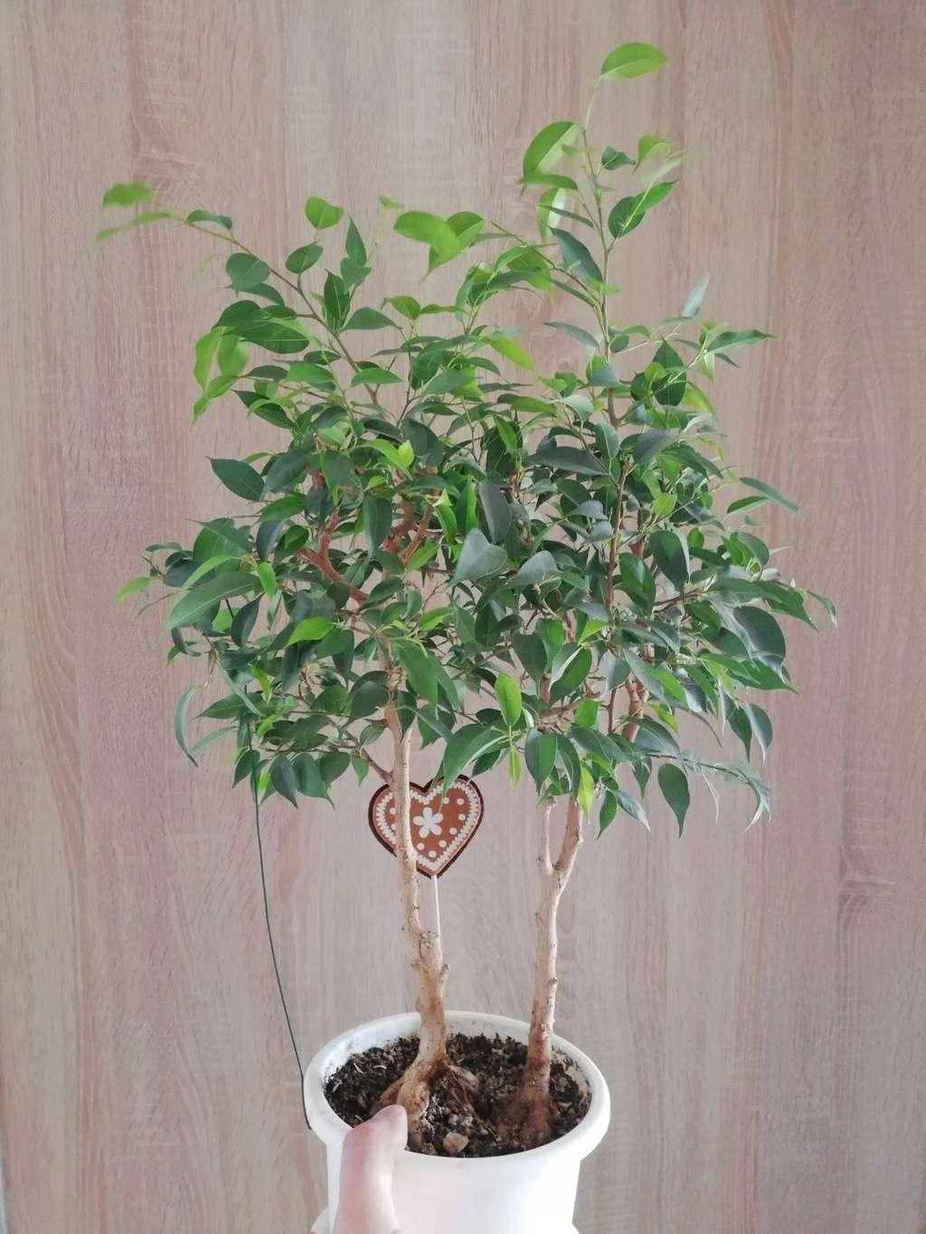 Ficus Benjamina  Whatsa11