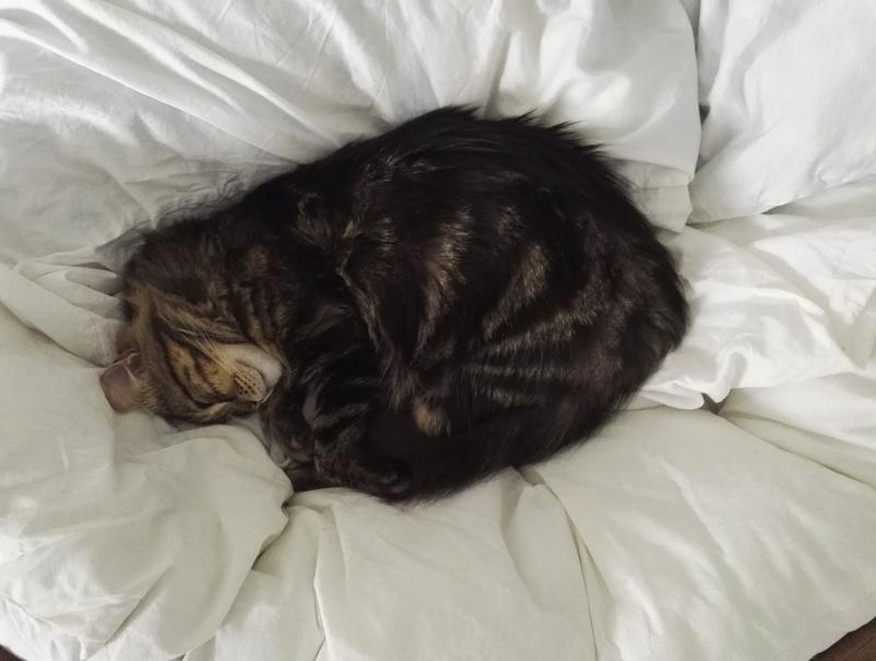 iron - IRON, chat européen, poils mi-longs marron tabby, né en mars 2013. Img_2010