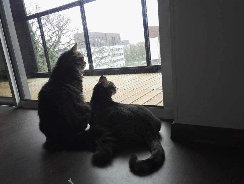 iron - IRON, chat européen, poils mi-longs marron tabby, né en mars 2013. Img_2011