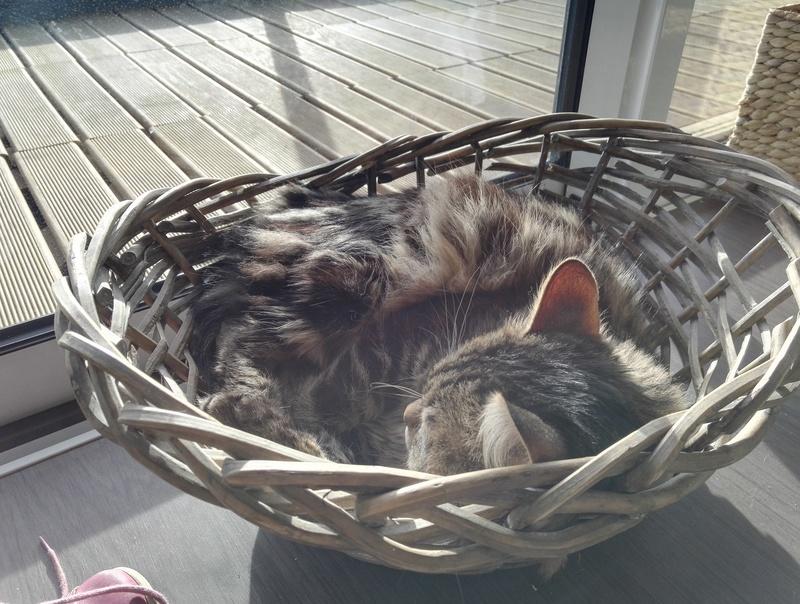 iron - IRON, chat européen, poils mi-longs marron tabby, né en mars 2013. Img_2012
