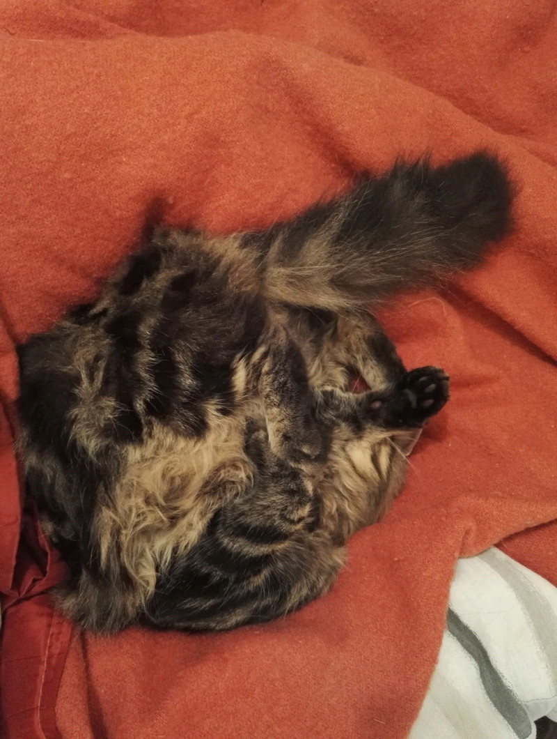 iron - IRON, chat européen, poils mi-longs marron tabby, né en mars 2013. Img_2014