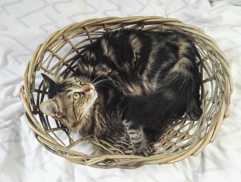 iron - IRON, chat européen, poils mi-longs marron tabby, né en mars 2013. Img_2015