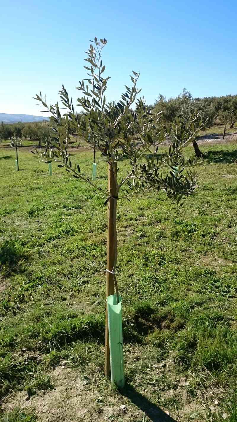 Crecimiento de plantones olivo - Página 14 01110