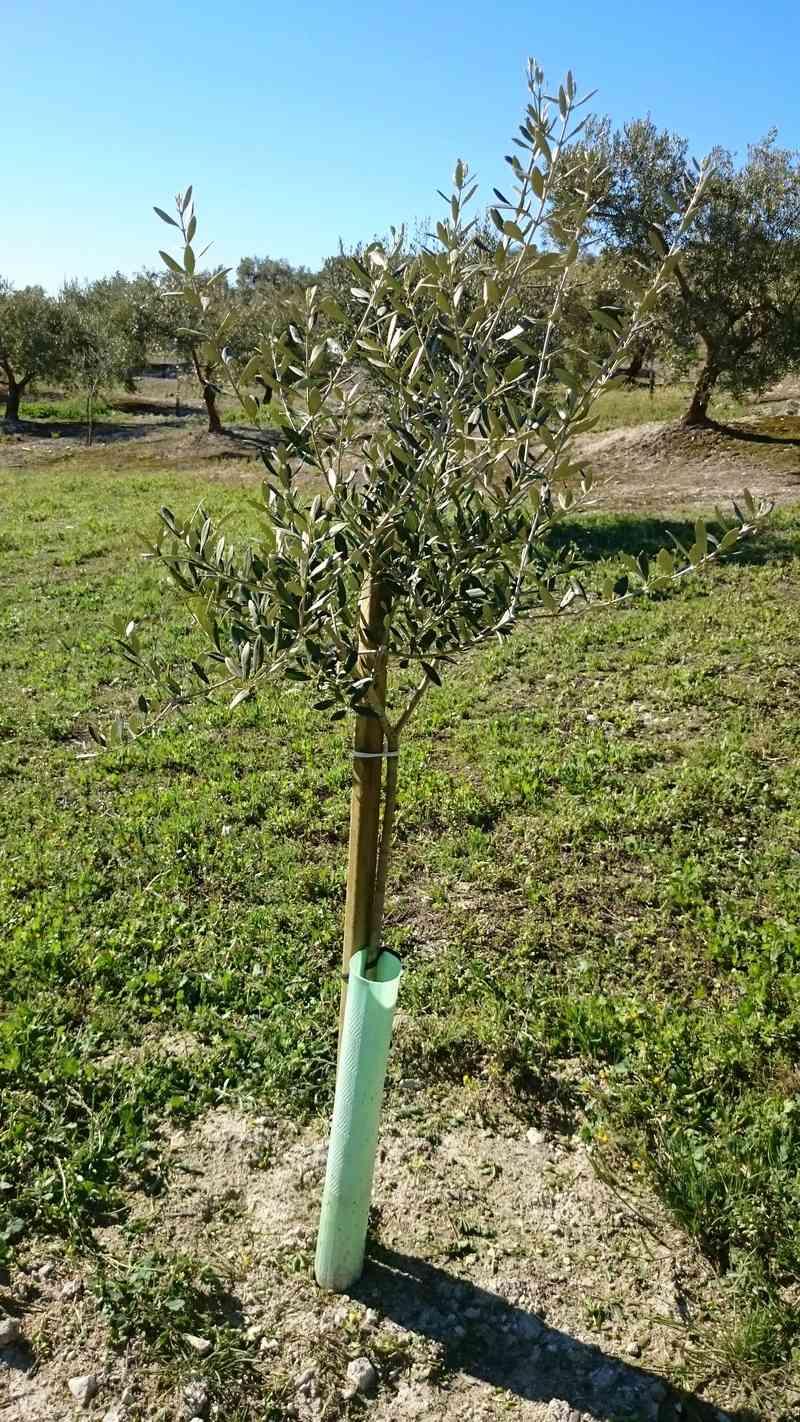 Crecimiento de plantones olivo - Página 14 01410