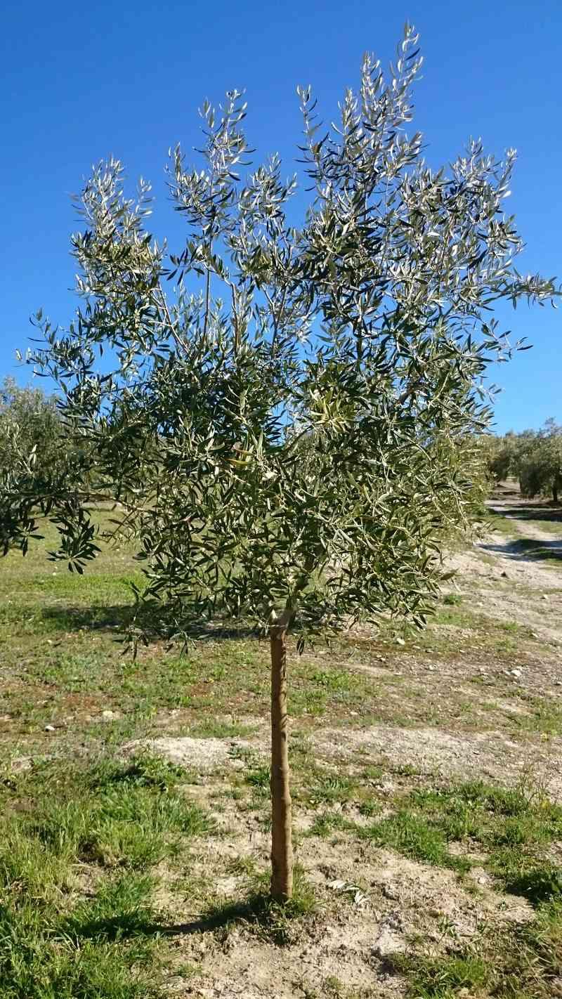 Crecimiento de plantones olivo - Página 14 01610