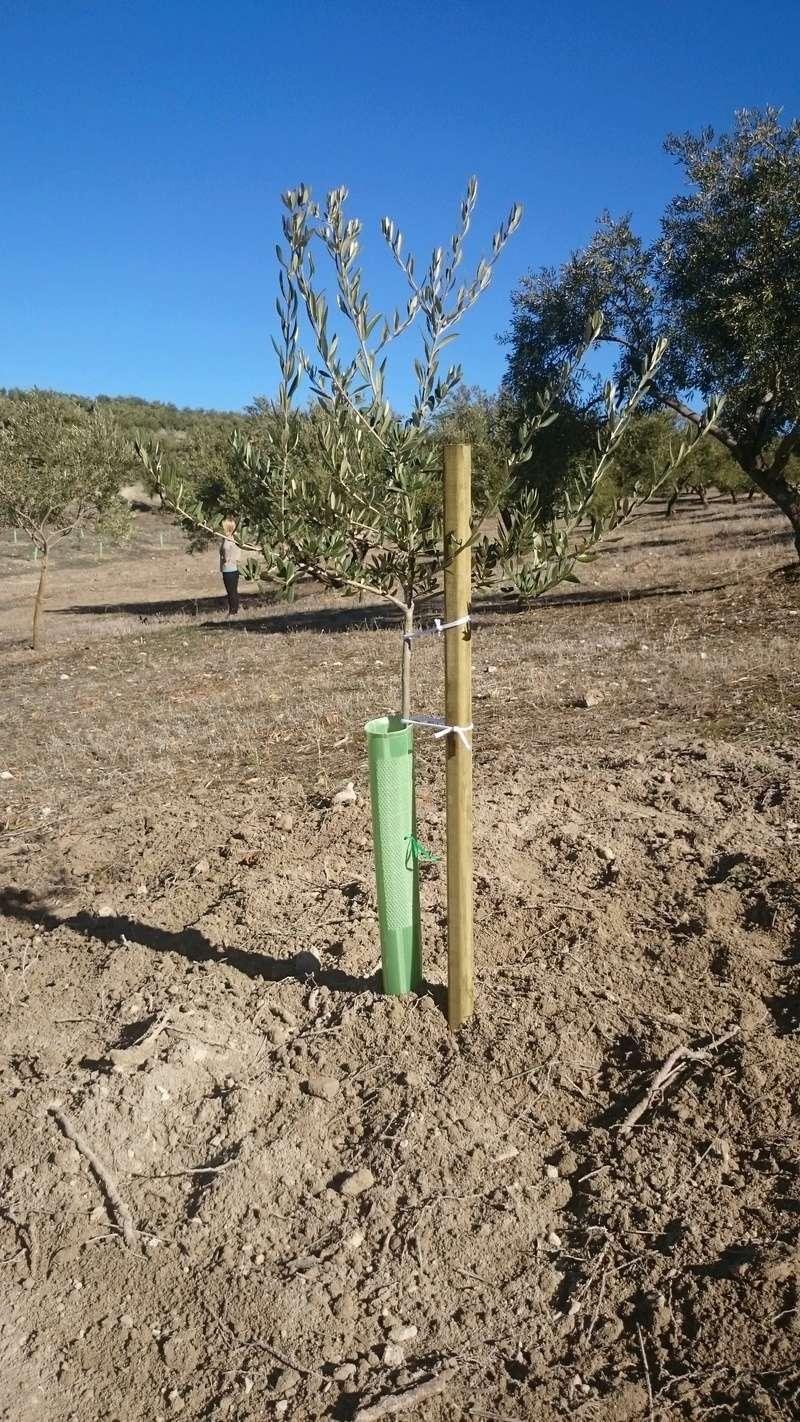 Crecimiento de plantones olivo - Página 14 16710