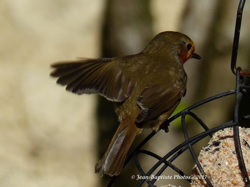 Les oiseaux de mon jardin. Copie_14