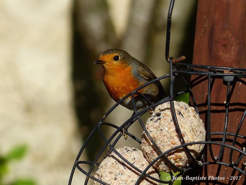 Les oiseaux de mon jardin. Copie_15