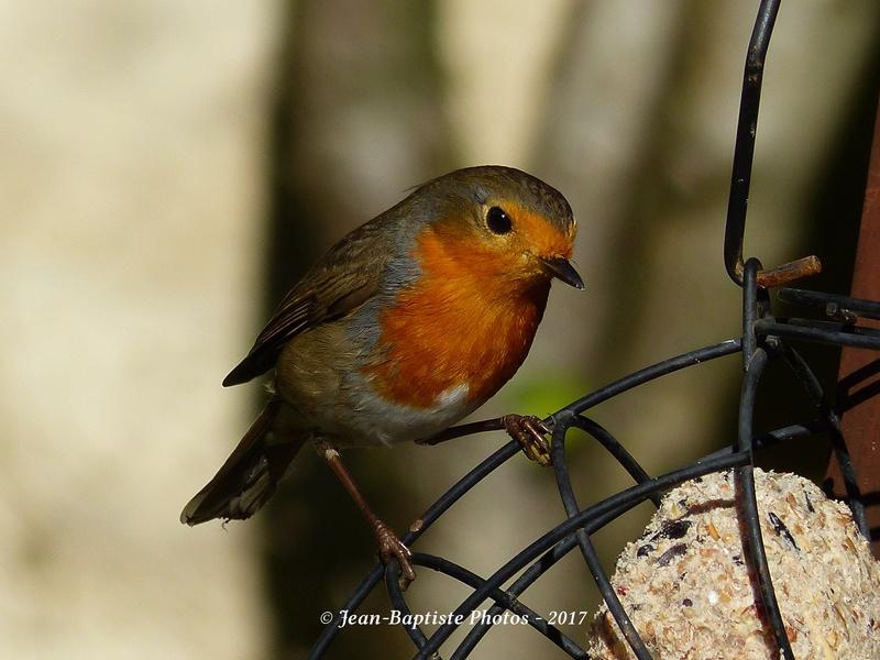 Les oiseaux de mon jardin. Copie_16