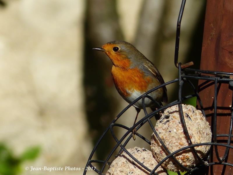 Les oiseaux de mon jardin. Copie_17