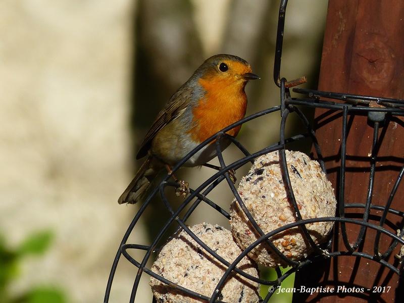 Les oiseaux de mon jardin. Copie_18