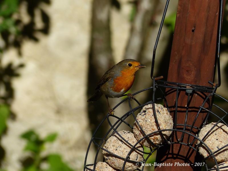 Les oiseaux de mon jardin. Copie_19