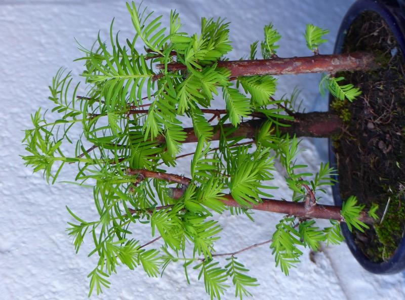 Mes bonsaïs extérieurs P1910111