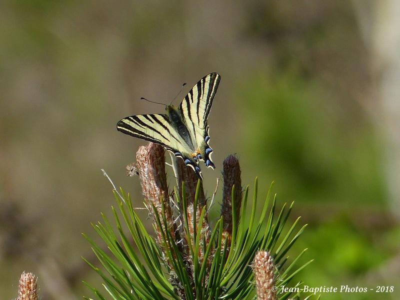 Papillon flambé. P1920210