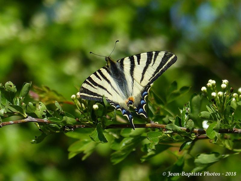 Papillon flambé. P1920211