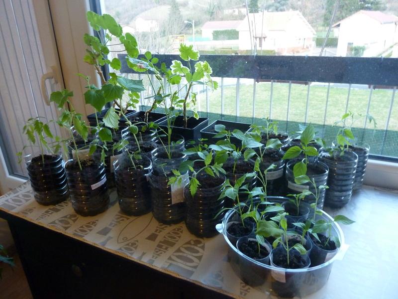 Quelques semis de Tomate Portugaise P1020616