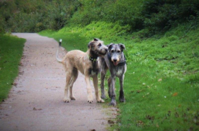 GAEL et Nefarian: Irish Wolf  Gael_611