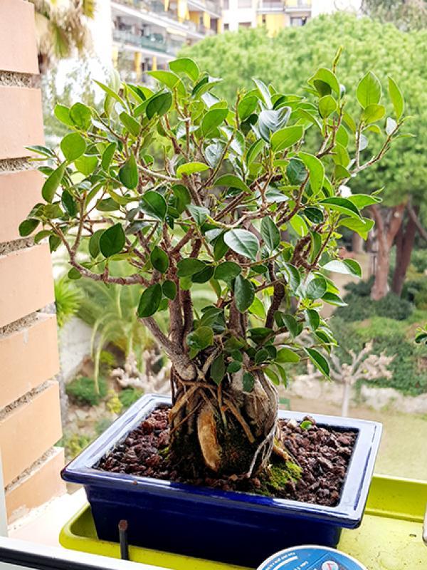 Hojas Amarillas en Ficus Retusa 20171111