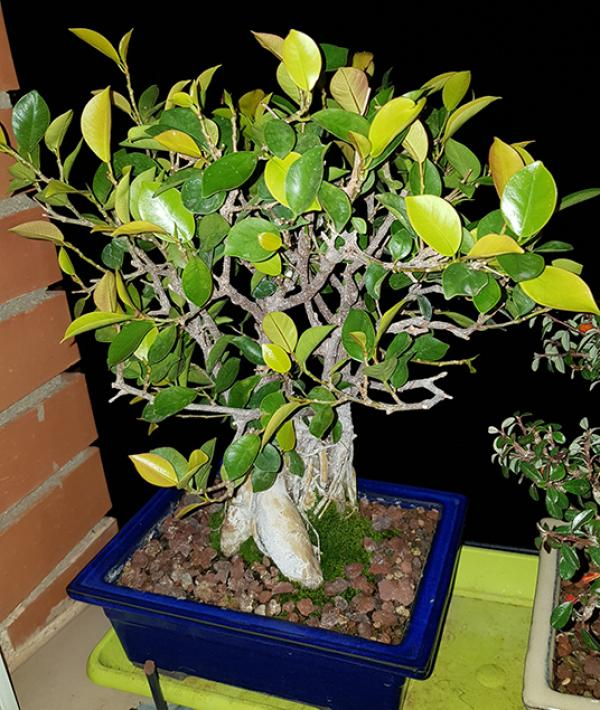 Hojas Amarillas en Ficus Retusa 20180313