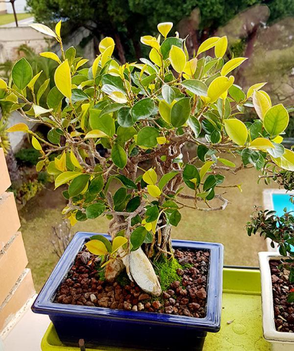 Hojas Amarillas en Ficus Retusa 20180314