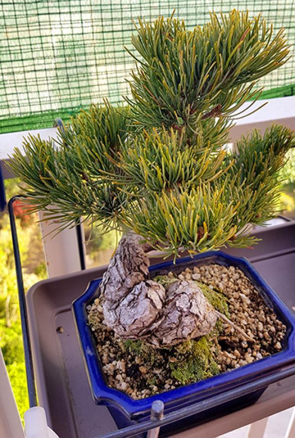 Pinus pentaphylla con problemas? 20180411