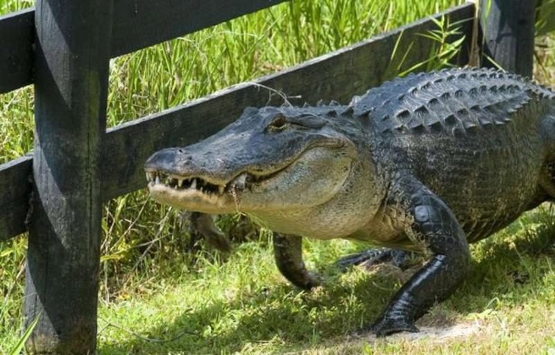 Etats-Unis: L'alligator de plus de 3 mètres barbotait dans la piscine familiale Allig10