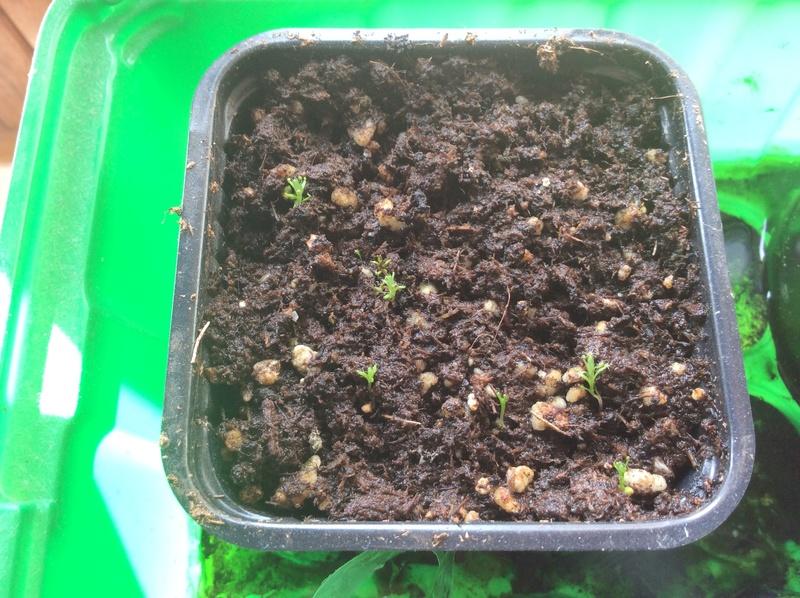 Drosera pygmées en fleurs Ee5d0d10
