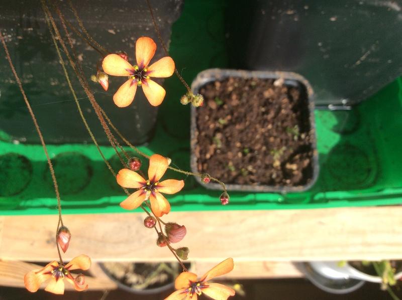 Drosera pygmées en fleurs Fdde3910