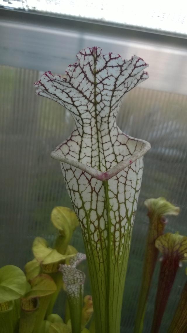 Mes Sarracenia - Page 5 Wp_20110